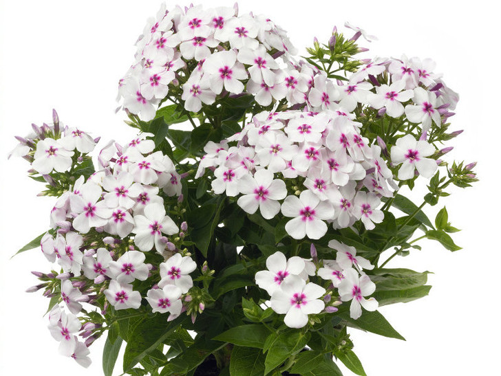 Phlox, White Eye Flame