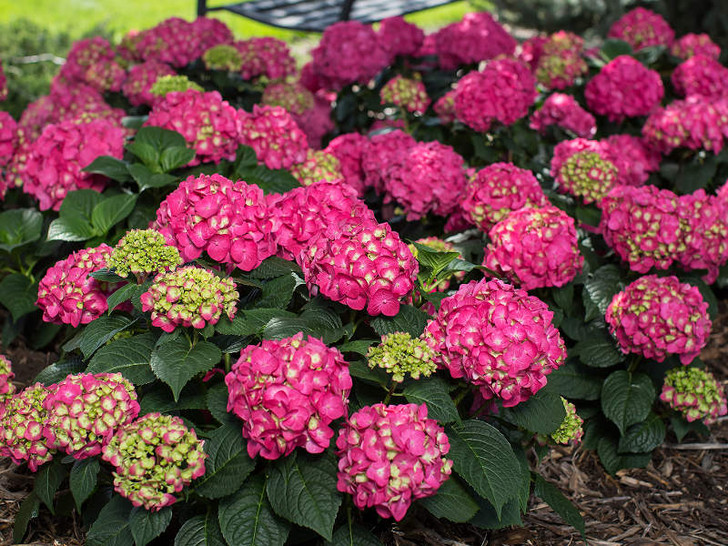 Color in alkaline conditions. Image Courtesy Bailey Nurseries, Inc./Endless Summer Plants