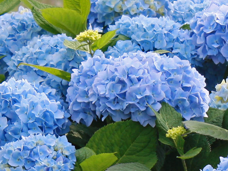 Image Courtesy Bailey Nurseries, Inc./Endless Summer Plants