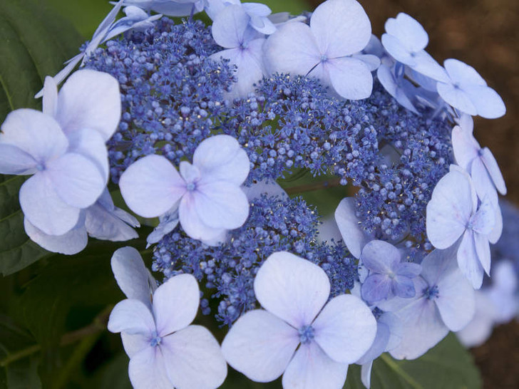 Color in acidic conditions.  Image Courtesy Bailey Nurseries, Inc./Endless Summer Plants
