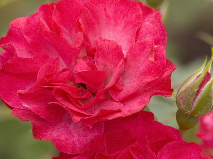 Image Courtesy Bailey Nurseries, Inc./Easy Elegance Roses