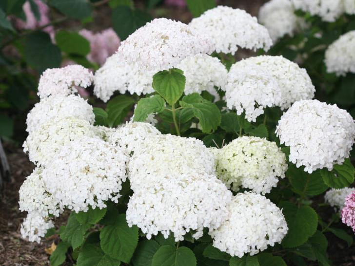 Hydrangea arborescens Invincibelle Wee White Image Courtesy Proven Winners