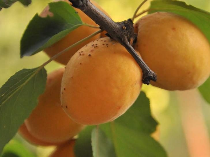 Apricot, Manchurian