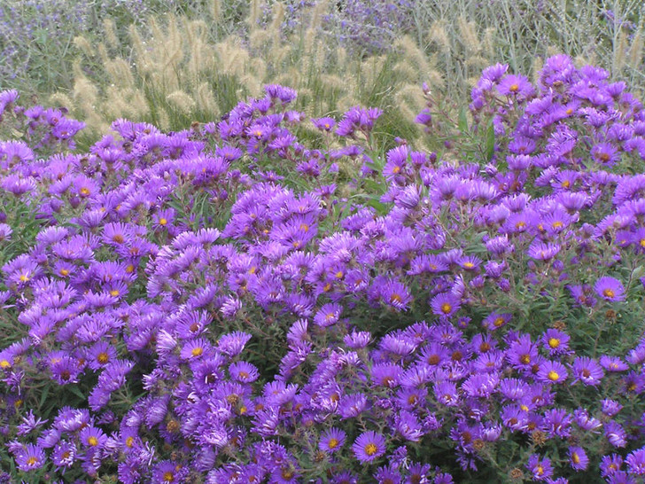 Aster novae-angliae 'Purple Dome' Image Courtesy Walters Gardens, Inc.