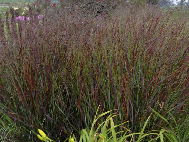 Panicum virgatum 'Cheyenne Sky' Image Courtesy Walters Gardens, Inc.