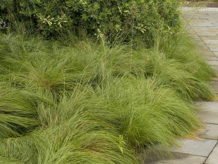 Prairie Dropseed - Sporobolus heterolepis Image Courtesy Walters Gardens, Inc.