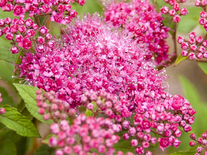 Spirea, Superstar Image Courtesy Bailey Nurseries, Inc./First Editions Plants