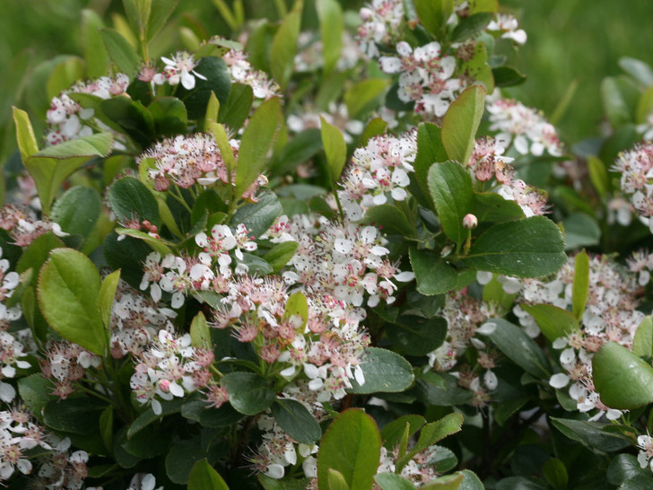 Aronia, Low Scape Mound Chokeberry  Image Courtesy Proven Winners, LLC