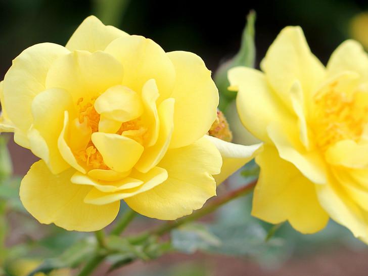 Rosa Oso Easy Lemon Zest Image Courtesy Proven Winners LLC