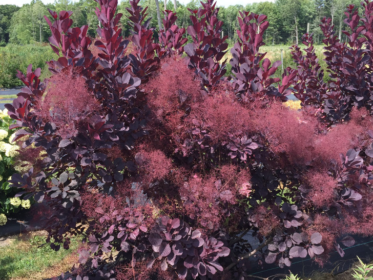 Cotinus coggygria Winecraft Black Smokebush Image Courtesy Proven Winners, LLC