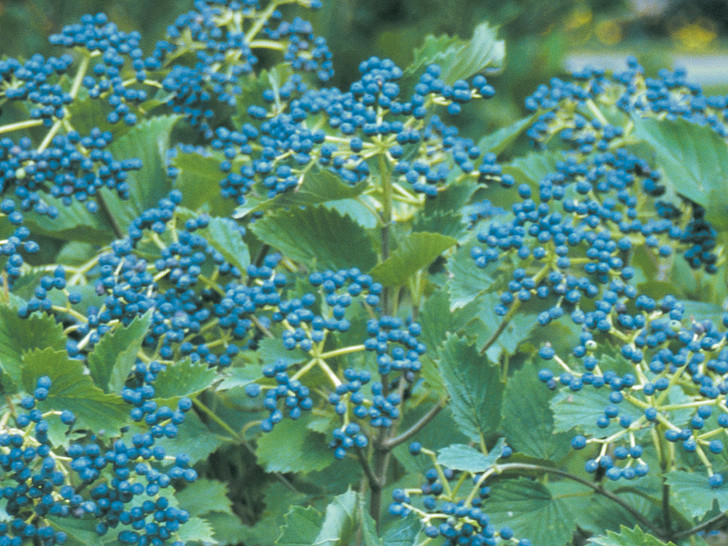 Blue Muffin® Viburnum dentatum 'Christom' Image Courtesy Proven Winners, LLC
