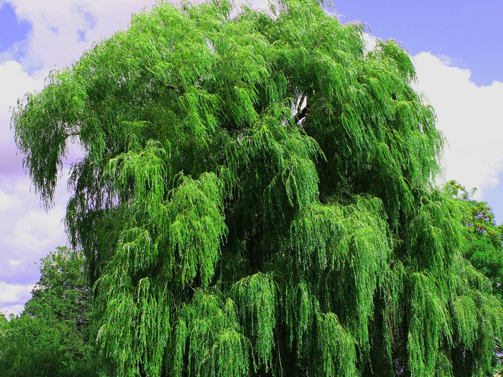 Weeping Willow Salix alba Image Courtesy Pixabay