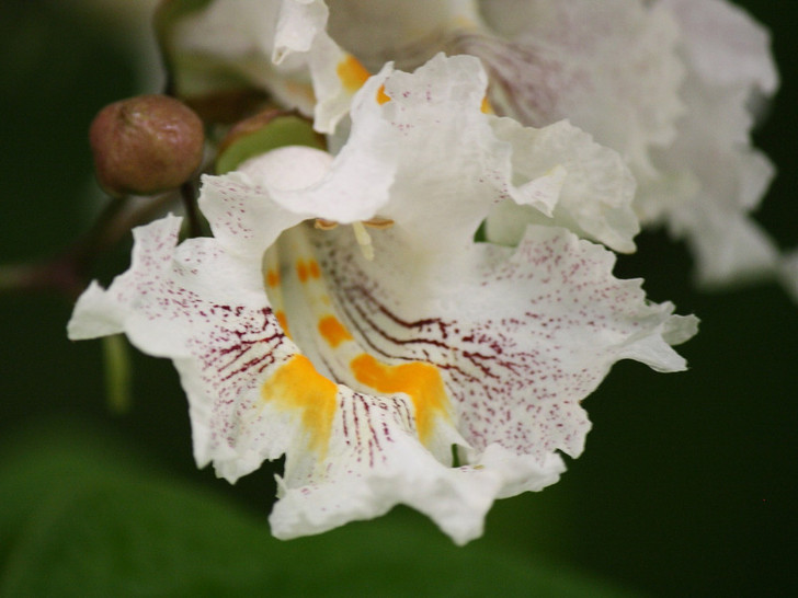 Northern Catalpa Catalpa speciosa Image Courtesy Pixabay