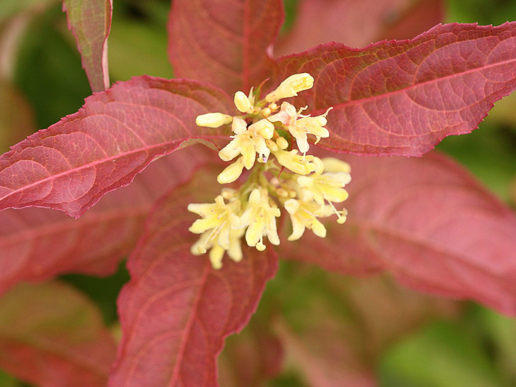 Diervilla, Kodiak Orange Image Courtesy Proven Winners