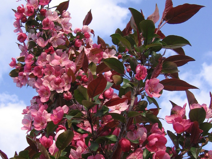 Malus 'Gladiator' x adstringens 'Durleo' Image Courtesy Bailey Nurseries, Inc./First Editions Plants