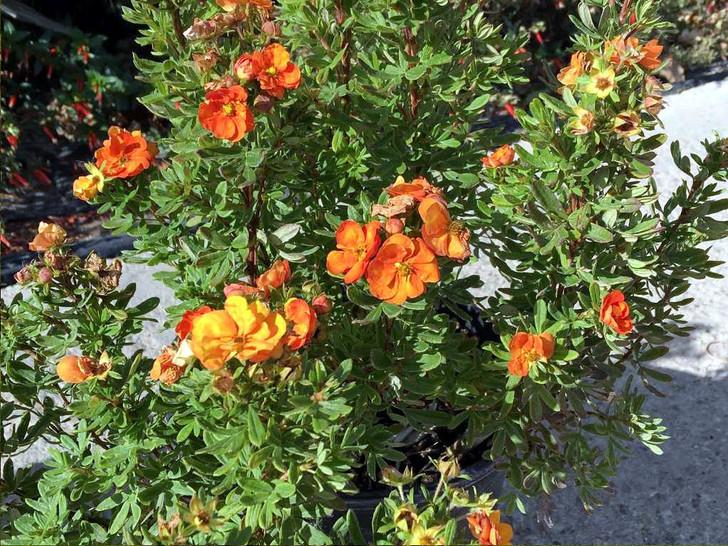 Marmalade Potentilla - Potentilla fruticosa 'Jefmarm' Image Courtesy Bailey Nurseries, Inc./First Editions Plants