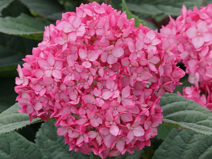 Invincibelle Ruby - Hydrangea arborescens Image Courtesy Proven Winners, LLC