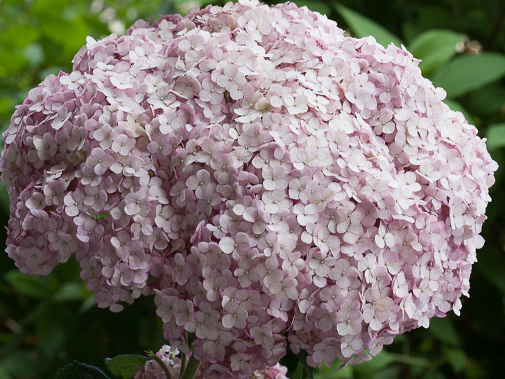 Incrediball Blush Hydrangea arborescens Image Courtesy Proven Winners, LLC