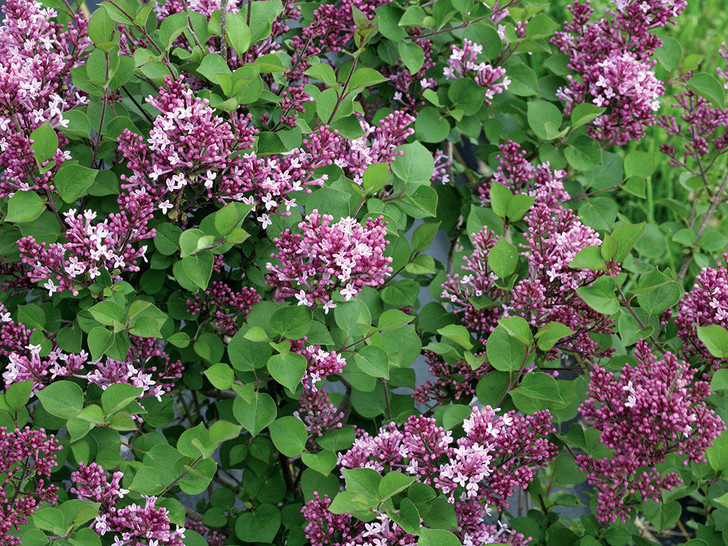 Bloomerang Dwarf Purple Lilac - Syringa Image Courtesy Proven Winners, LLC