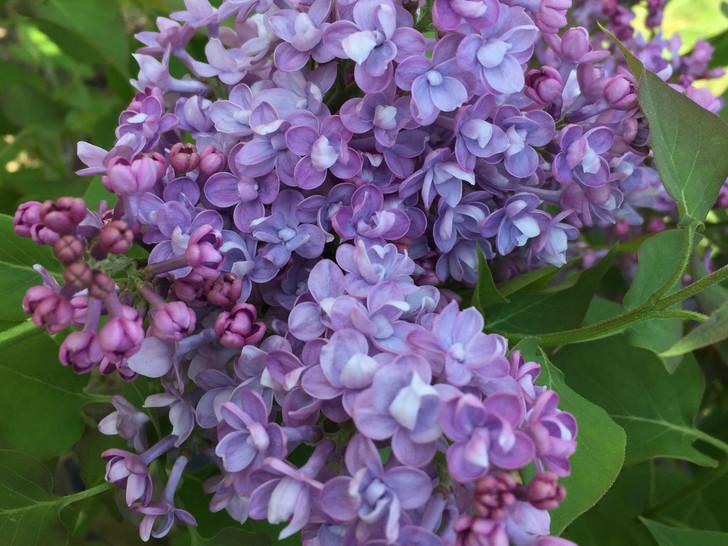 Scentara® Double Blue Syringa hyacinthiflora 'SMNSHBBL' Image Courtesy Proven Winners, LLC