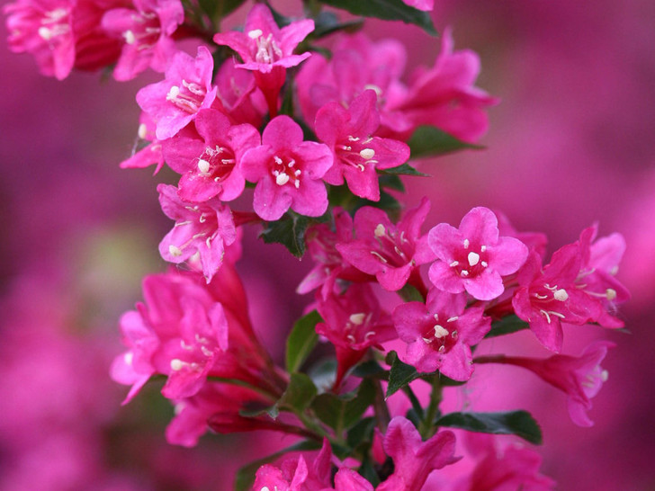 Sonic Bloom® Pink Weigela florida 'Bokrasopin' - Reblooming Image Courtesy Proven Winners, LLC