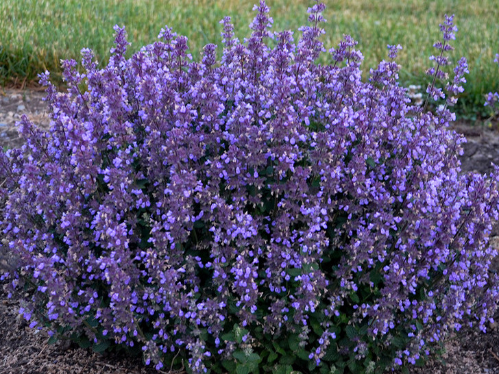 'Cat's Pajamas' Nepeta hybrid Catmint Image Courtesy Proven Winners, LLC
