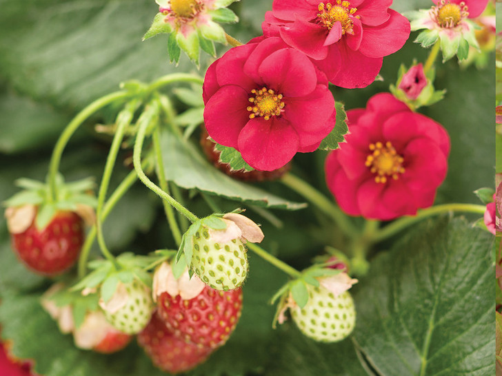 Berried Treasure® Red Strawberry - Fragaria ananassa Image Courtesy Proven Winners, LLC