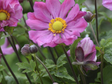 Anemone Curtain Call Deep Rose Switzer Landscaping
