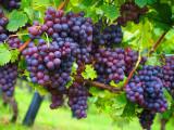 Noble Grape