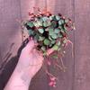 Peperomia rotundifolia 'Ruby Cascade'