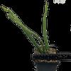 Selenicereus urbanianus monstrose