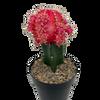 Moon Cactus - Pink