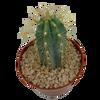 Pilocereus pachycladus
