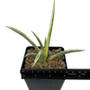 Sansevieria gracilis variegata
