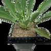 "Euphorbia bupleurifolia ""Pine Cone Plant"""