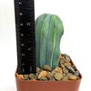 Myrtillocactus geometrizanus