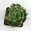 Cereus forbesii 'Spiralis' [Small]