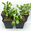 Christmas Cactus 4-Pack at East Austin Succulents