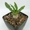 Pachypodium namaquensis for sale at East Austin Succulents