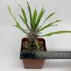 Pachypodium mikea for sale at East Austin Succulents