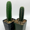 Trichocereus Mystery Twin Pack [Small] for sale at East Austin Succulents