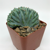 "Myrtillocactus ""Strictum"" cristata monstrose [Small] for sale at East Austin Succulents"