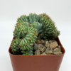 Myrtillocactus 'Elite' cristata monstrose [Small] for sale at East Austin Succulents