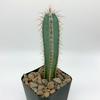 Cereus forbesii for sale at East Austin Succulents