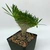 Pachypodium gracilis monstrose [Small] for sale at East Austin Succulents