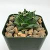Obregonia denegrii for sale at East Austin Succulents