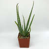 Aloe vera for sale at East Austin Succulents