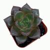 Echeveria purpureum for sale at East Austin Succulents