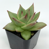 Echeveria agavoides 'Ebony' [Small] for sale at East Austin Succulents