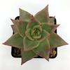 Echeveria agavoides 'Ebony' [Large] for sale at East Austin Succulents